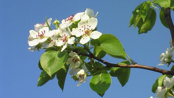Ветка яблони