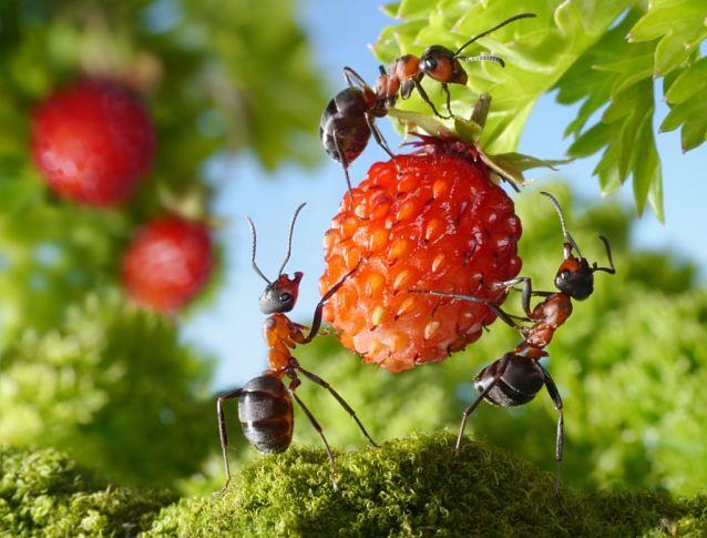 Муравьи на ягоде