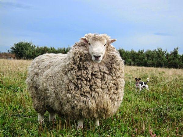 Давно не стриженная овца