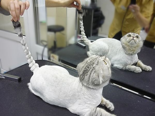Стриженый кот