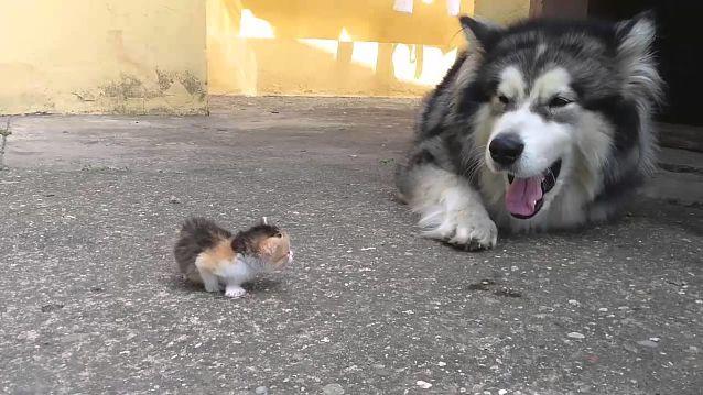 Котенок не боится собаки