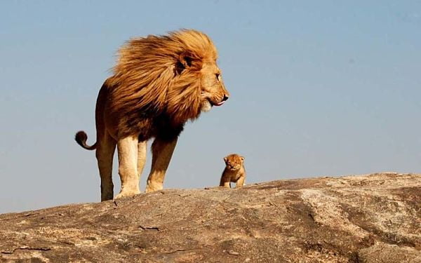 Большой лев с маленьким львенком